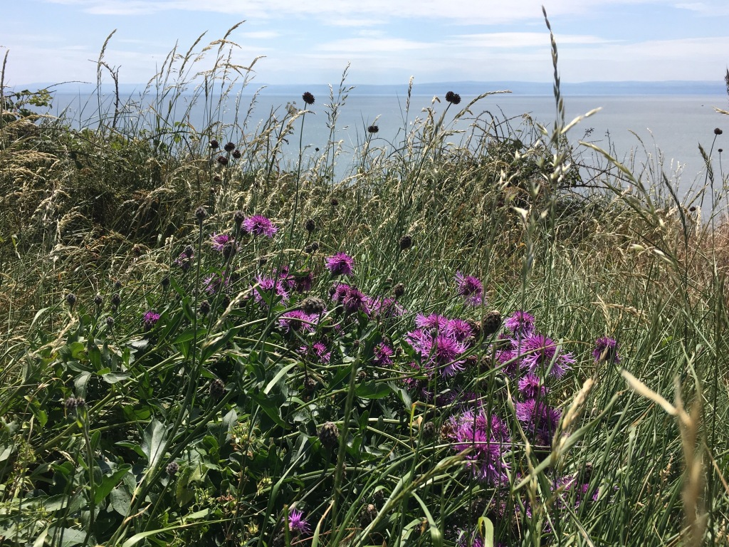 Great Knapweed atop cliffs on the Welsh Coastal path