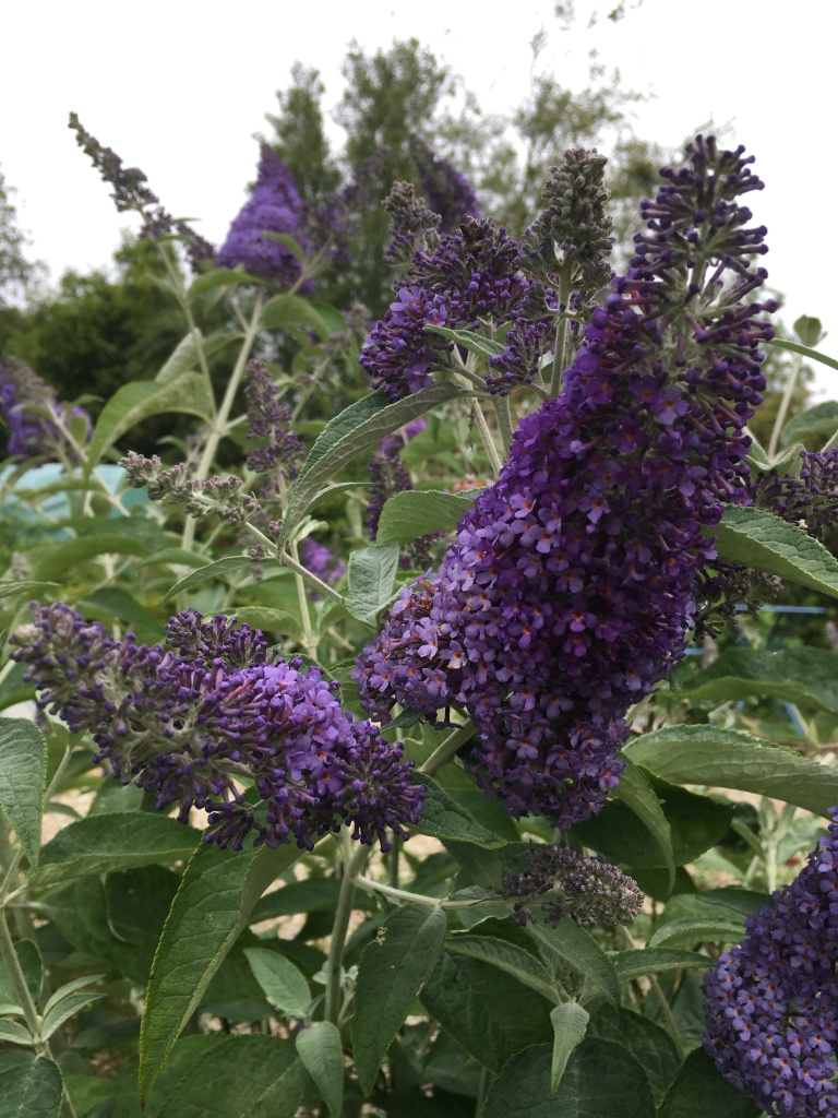 Image of a deep purple Buddleia flower