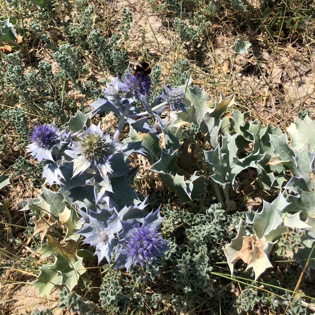 Sea holly and a bee